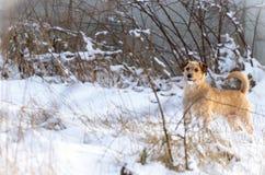 一条小白色杰克罗素狗狗在有很多雪在冬天的草甸戏耍 库存照片