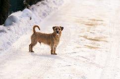 一条小白色杰克罗素狗狗在有很多雪在冬天的草甸戏耍 免版税图库摄影