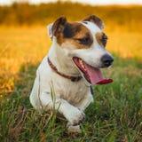 一条小白色狗起重器罗素狗休息在跑疲倦了在落日的光芒的一个草甸以后 免版税库存照片