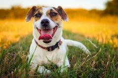 一条小白色狗起重器罗素狗休息在跑疲倦了在落日的光芒的一个草甸以后 库存图片