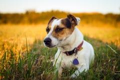 一条小白色狗起重器罗素狗休息在跑疲倦了在落日的光芒的一个草甸以后 免版税库存图片