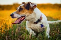 一条小白色狗起重器罗素狗休息在跑疲倦了在落日的光芒的一个草甸以后 免版税图库摄影