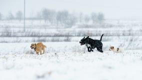 一条小白色狗,一条纯血统起重器罗素狗在一个积雪的草甸跑 库存图片