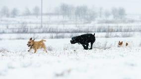 一条小白色狗,一条纯血统起重器罗素狗在一个积雪的草甸跑 免版税库存照片