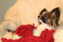 一条小的长毛的狗基于在扶手椅子的一张白色羊皮 免版税库存照片