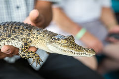 一条小的鳄鱼在人的手上 免版税库存照片