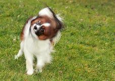 一条小矮小的毛茸的长毛的逗人喜爱的狗在绿草站立在庭院或公园里并且调查照相机并且摇他的头 库存图片