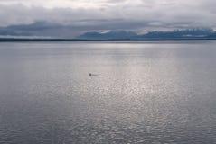 一条小鲸鱼尾巴在浩大的灰色阿拉斯加海洋 免版税库存照片