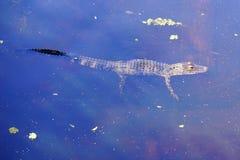 一条小鳄鱼游泳 免版税图库摄影