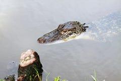 一条小鳄鱼的特写镜头 免版税库存照片