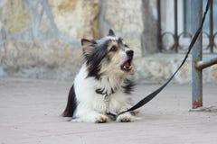 一条小黑白狗等待所有者和栓对商店 库存图片