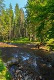 一条山河的小急流在有垂悬的绿色分支森林里在它上在蓝天背景 库存图片
