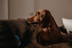 一条岁光滑的棕色达克斯猎犬狗坐坐垫和投掷在一个沙发在公寓里面,看对边 免版税库存图片