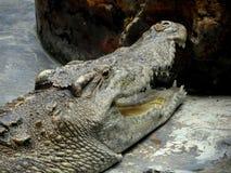 一条巨大的盐水鳄鱼 库存照片