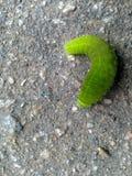 一条巨大的绿色毛虫 库存图片