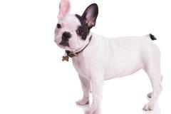 一条常设法国牛头犬小狗的侧视图 免版税库存照片