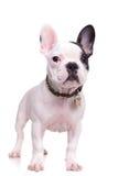 一条常设法国牛头犬小狗的充分的身体图片 免版税库存图片