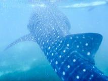 一条年轻鲸鲨在水的表面下 免版税库存照片
