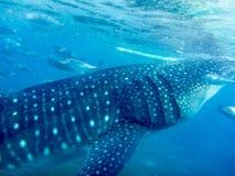 一条年轻鲸鲨的侧视图和特写镜头 库存图片