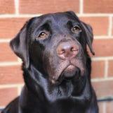 一条幼小巧克力拉布拉多狗的画象 免版税库存图片