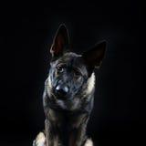 一条幼小母mullti色德国牧羊犬狗的画象 免版税图库摄影