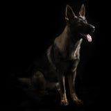 一条幼小母mullti色德国牧羊犬狗的画象 免版税库存图片