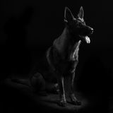 一条幼小母mullti色德国牧羊犬狗的画象 免版税库存照片
