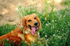 一条幼小英俊的猎犬小狗的画象 免版税图库摄影