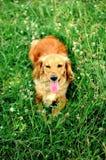 一条幼小英俊的猎犬小狗的画象 库存图片