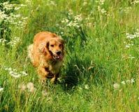 一条幼小英俊的猎犬小狗的画象 图库摄影