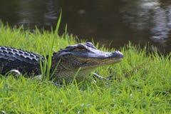 一条幼小鳄鱼的特写镜头 免版税库存照片