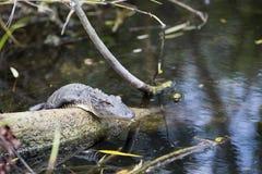 一条幼小鳄鱼 免版税库存照片