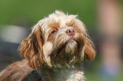 一条幼小Cavapoo狗的逗人喜爱的顶头射击 品种由名字长卷毛狗x国王查尔斯Cavalier Spaniel,贾夫共同地也知道 免版税库存图片