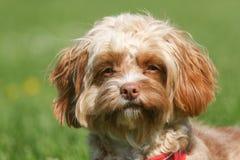 一条幼小Cavapoo狗的逗人喜爱的顶头射击 品种由名字长卷毛狗x国王查尔斯Cavalier Spaniel,贾夫共同地也知道 库存图片