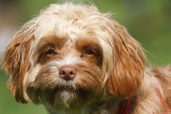 一条幼小Cavapoo狗的逗人喜爱的顶头射击 品种由名字长卷毛狗x国王查尔斯Cavalier Spaniel,贾夫共同地也知道 库存照片