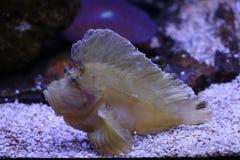 一条异乎寻常的鱼的图象在水族馆的 免版税库存图片
