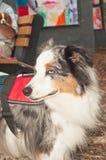 一条微型澳大利亚成群狗的画象 免版税库存照片