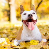 一条微笑的狗的画象 图库摄影