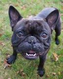 一条微笑的狗 免版税库存照片