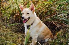 一条微笑的狗 图库摄影