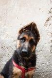 一条德国牧羊犬小狗的画象 免版税库存图片