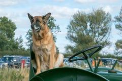 一条德国牧羊犬狗坐拖拉机位子 库存照片