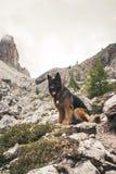 一条德国牧羊犬狗的图片在肾上腺皮质激素D `安普足迹的  免版税库存图片