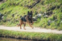 一条德国牧羊犬狗的图片在肾上腺皮质激素D `安普足迹的  图库摄影