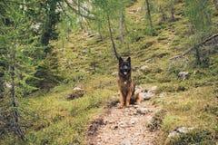一条德国牧羊犬狗的图片在肾上腺皮质激素D `安普足迹的  免版税图库摄影