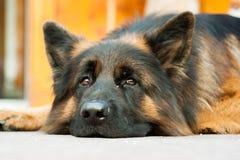 一条德国牧羊犬狗的图片在肾上腺皮质激素D `安普足迹的  免版税库存照片
