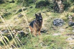 一条德国牧羊犬狗的图片在肾上腺皮质激素D `安普足迹的  库存照片