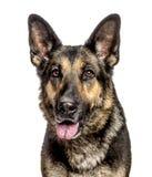 一条德国牧羊犬狗的特写镜头,被隔绝 库存图片