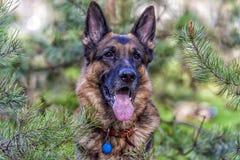 一条德国牧羊犬狗的纵向 免版税库存图片