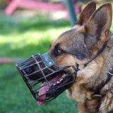 一条德国牧羊犬狗的纵向 库存照片